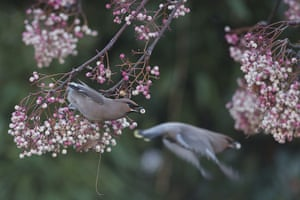 Week in wildlife: Migrating Waxwings Arrive In The UK From Scandinavia