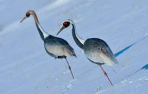 Week in wildlife: Red-crowned cranes in Cheorwon-gun county