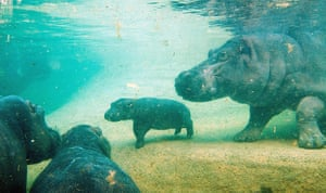 Week in wildlife: Hippo offspring in Berlin Zoo