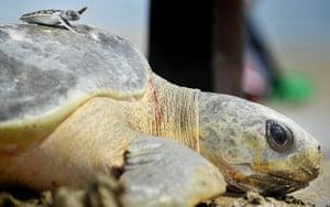 Week in wildlife: Flatback Turtles released into the wild, Darwin, Australia - 07 Dec 2012