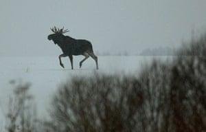 Week in wildlife: An elk runs in a field near the village of Ratsevo