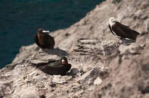 Week in wildlife: Frigatebird returns to nest on Ascension
