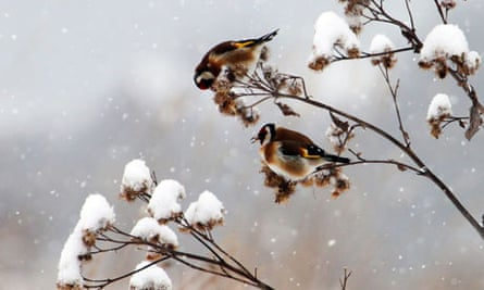 Goldfinches on a branch