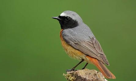 Adult male redstart