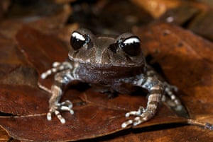 WWF New Species: A visually stunning 'yin-yang' frog (Leptobrachium leucops)