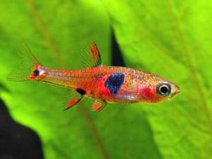 WWF New Species: Fantastically coloured fish (Borarus naevus)