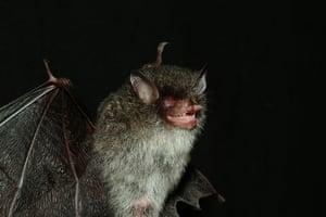WWF New Species: Bat from the underworld (Murina beelzebub)