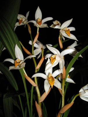 WWF New Species: Thick-spiked Coelogyne Orchid (Coelogyne pachystachya)