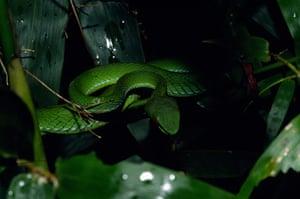 WWF New Species: Ruby-eyed pit viper (Trimeresurus rubeus)