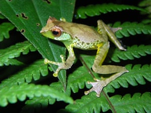WWF New Species: Sweet singing frog (Gracixalus quangi)