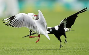 24 hours in pictures: A magpie and a seagull tussle on a cricket pitch