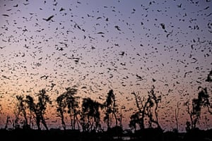 BBC Africa : Fruit bats in Zambia