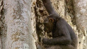 BBC Africa : Young female chimp in the Congo