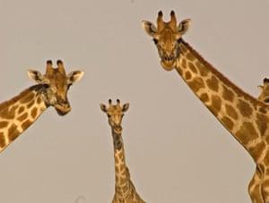 BBC Africa : Three desert giraffes in the Kalahari