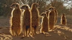 BBC Africa : Family of meerkats in the Kalahari
