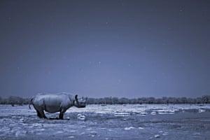 BBC Africa : A black rhino in the Kalahari