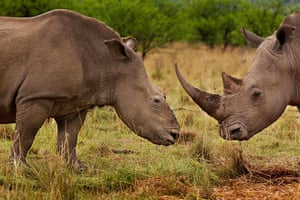 """2012 Awards: World Press Photo Nature Stories for the """"Rhino Wars"""" series"""
