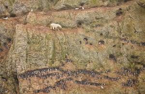 2012 Awards: World Press Photo CLIMBING POLAR BEAR ATTEMPTING TO EAT SEABIRD EGGS