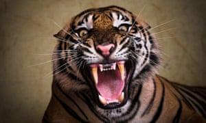 Someone doesn't like having their photograph taken. Sumatran tiger Ana roars at Ragunan Zoo, in Jakarta, Indonesia.