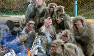 Japanese Yaku Macaques warm themselves around a bonfire at the Japan Monkey Centre in Inuyama, Aich