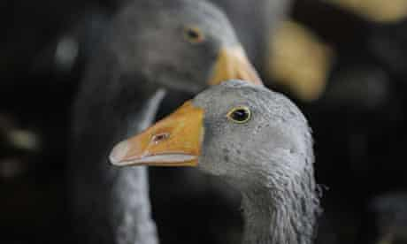 Geese kept for foie gras productionin a farm in Ujkigyos, Hungary