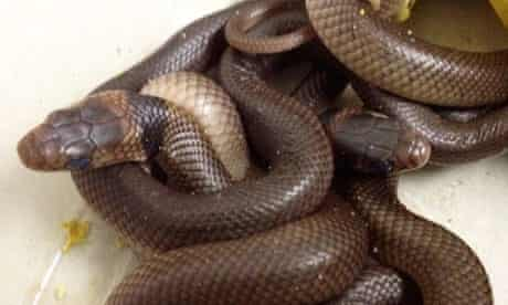 Snakes found by Australian boy Kyle Cummings