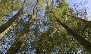 Ash trees at Winkworth Arboretum in Surrey