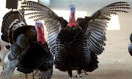 A turkey opens its wings as it wanders about a farm yard