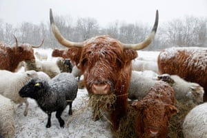 Living in a freezer: A Scottish Highland cattle eats its feed