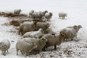 Living in a freezer: Sheep stand in the snow on Osmussaar island