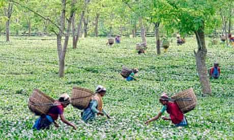 Workers pick tea leaves in Assam