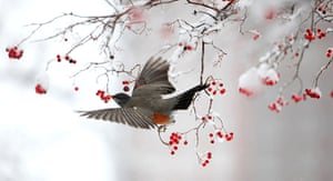24 hours in pictures:  A hungry Robin dines on Hawthorne berries