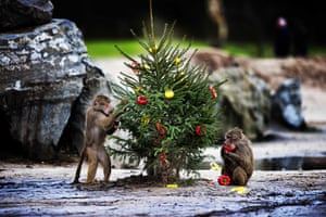 24 hours in pictures: Hamadryas baboon (Papio hamadryas) eat peppers off a christmas tree