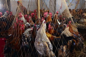24 hours in pictures: Live chickens stand inside a cage on sale at a market in Dhaka