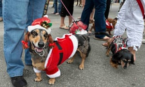 Sadie, dressed in a Santa outfit, parades in Key West, Florida, during the Key West Dachshund Walk, an annual New Year's Eve tradition that attracted almost 200 canines.