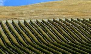 A vineyard near the Tuscan town of Montalcino in Italy