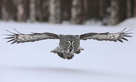 Low flying owl