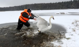 A diver from the Belarus emergencies ministry tries to catch a sick swan on lake near the village of Shvaby, about 60 miles north of Minsk