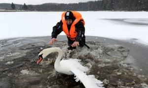 A swan in Belarus