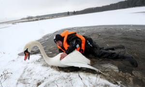 Gotcha! A swan in Belarus