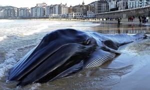 A dead whale is seen at la Concha beach in San Sebastian, Spain.