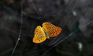 A butterfly is caught in a spider web