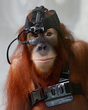 24 hours: Kuala Lumpur, Malaysia: Sumatran orangutan Tsunami wears eye tracking equipment