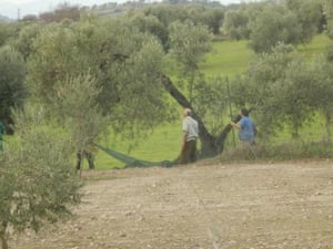 olives Zafra extremadura