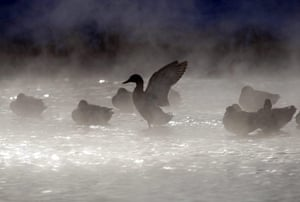 Cold snap continues: A duck stretches its wings on a steaming pond on the outskirts of Minsk
