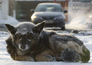 Cold snap continues: A dog covered with hoarfrost lies on the ground in Kiev