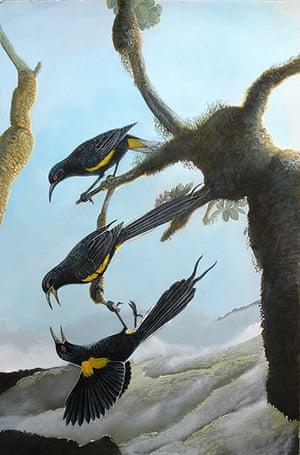 Extinct birds: Hawaiian O'o