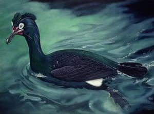 Extinct birds: Spectacled Cormorant