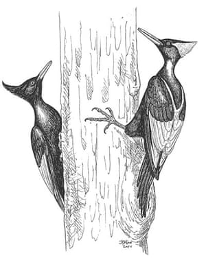 Extinct birds: Imperial Woodpecker
