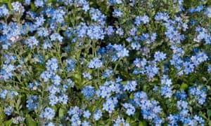 Plant Of The Week Brunnera Jack Frost Life And Style The Guardian